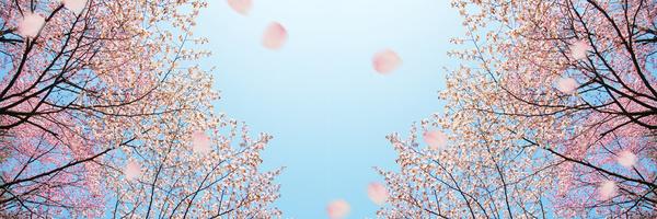 1604FotoliaKörsbärsträd
