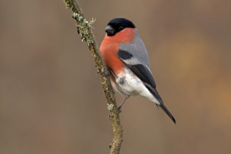 Male of Eurasian bullfinch. Pyrrhula pyrrhula