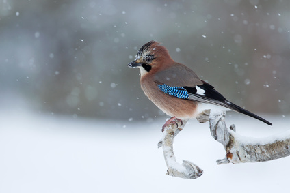Eurasian Jay perched in tree in snowy scene, Norway.